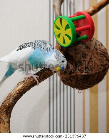 budgerigar sitting on dry branch and playing with toys - stock photo