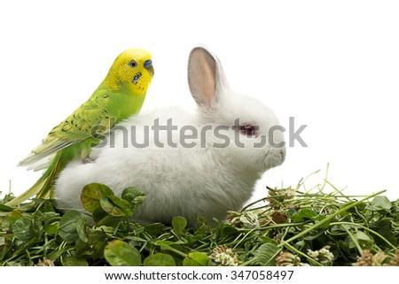 Budgerigar sitting on white rabbit isolated on white background. - stock photo