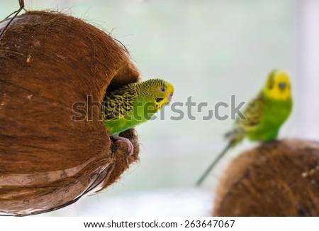 Budgie nest in coconut - stock photo