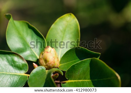 buds and leaves on the shrub of rhododendron - stock photo