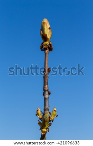 Buds Chestnut on a tree at the spring time - stock photo