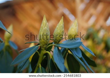 Buds of rhododendron - stock photo