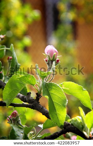 Buds, on an apple tree. Small buds on an apple twig - stock photo