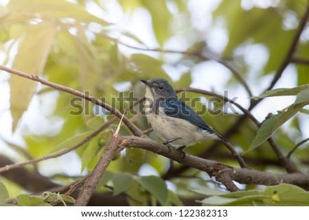 Buff-bellied Flowerpecker on branch , thailand - stock photo