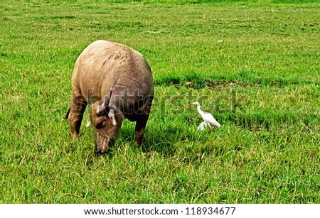 Buffalo and egret, Vietnam - stock photo