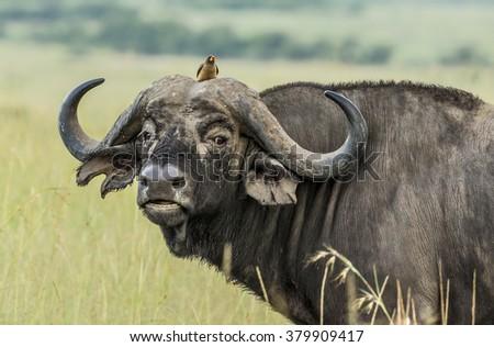 Buffalo and oxpecker - stock photo