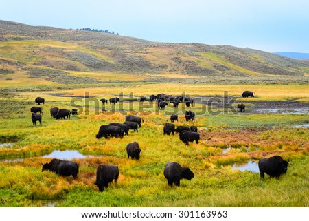 Buffalo at Yellowstone National Park - stock photo