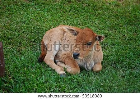 buffalo baby - stock photo