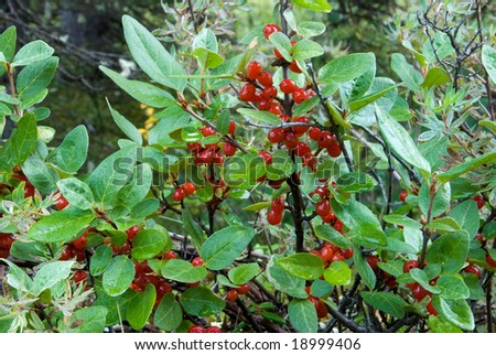 Buffalo Berries (Shepherdia canadensis) in Banff National Park - stock photo