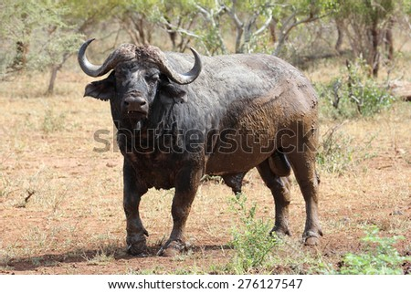 Buffalo Bull after enjoying a mud bath - stock photo