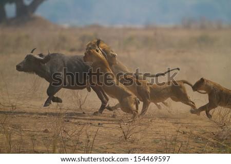 Buffalo caught - stock photo
