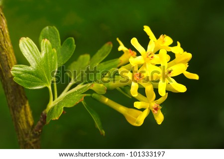 Buffalo Currant (Ribes Aureum) Native americans used currant for the treatment of kidney diseases, menstrual problems and fertility enhancer to assist women in becoming pregnant. - stock photo