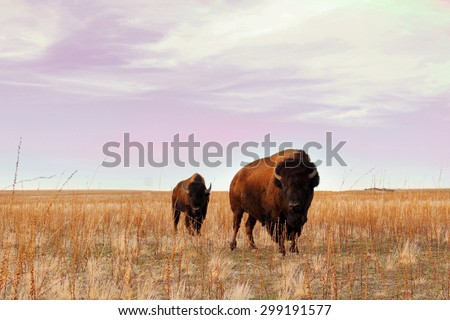 Buffalo graze on a golden field - stock photo