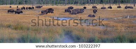 Buffalo grazing, Yellowstone National Park, Wyoming - stock photo