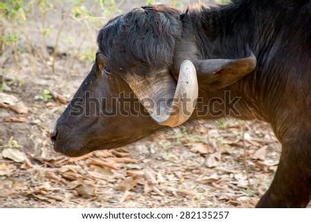 Buffalo head shot. Seen in India on the street - stock photo