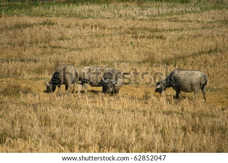 buffalo herd in a harvested step rice field - stock photo