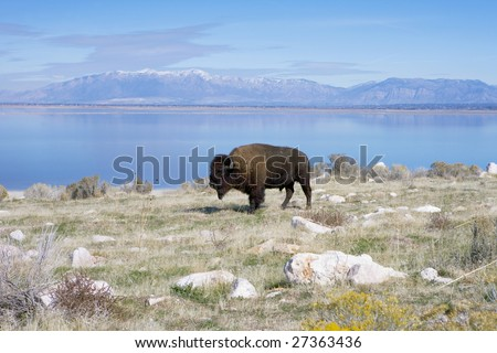 Buffalo in Antelope Island State Park - stock photo