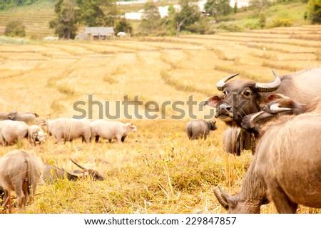 Buffalo in rice field - stock photo