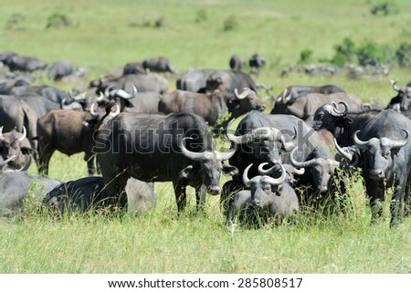 Buffalo in the National Reserve of Africa, Kenya - stock photo