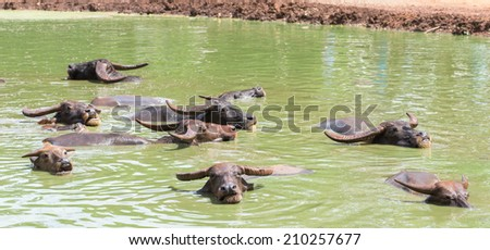 Buffalo in the water - stock photo
