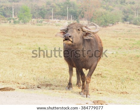 Buffalo looking for it's calf  the field, Thailand - stock photo