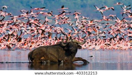 Buffalo lying in the water on the background of big flocks of flamingos. Kenya. Africa. Nakuru National Park. Lake Bogoria National Reserve. An excellent illustration. - stock photo