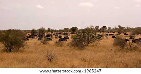 Buffalo panorama in kruger national park - stock photo