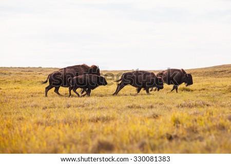 Buffalo Running on the Prairie - stock photo