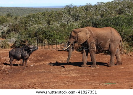 Buffalo stand-off with Elephant bull,two of the big 5. - stock photo