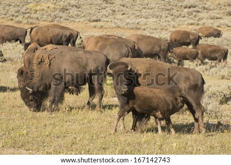 Buffalos in Yellowstone Lamar valley during summer time while looking at you - stock photo