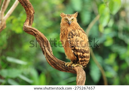 Buffy Fish Owl on green background - stock photo