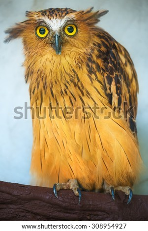 Buffy Fish Owl portrait, close up of yellow eyes  - stock photo