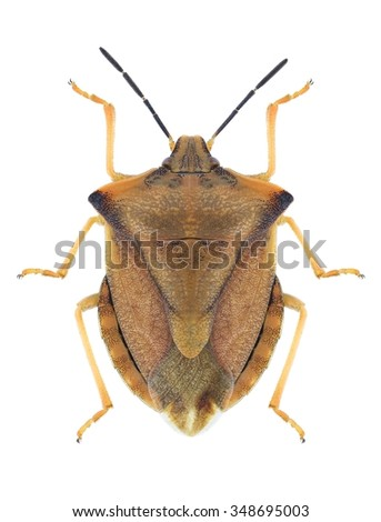 Bug Carpocoris fuscispinus on a white background - stock photo