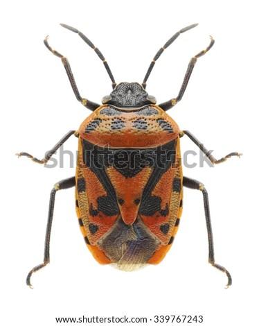 Bug Eurydema ornata on a white background - stock photo