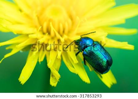 Bug on a dandelion - stock photo