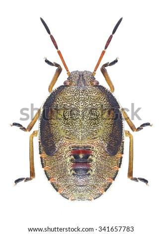 Bug Piezodorus lituratus (larva) on a white background - stock photo
