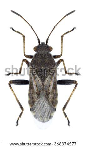 Bug Stictopleurus punctatoventrosuson a white background - stock photo