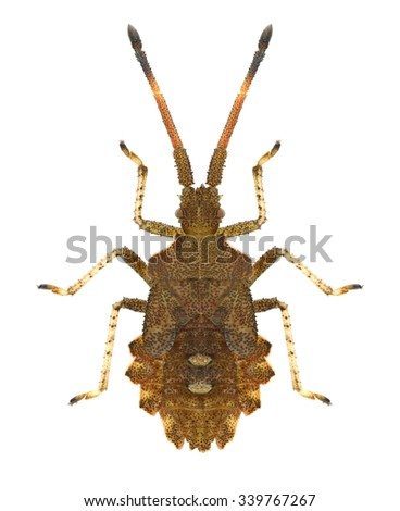 Bug Syromastus rhombeus (larva) on a white background - stock photo