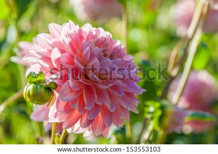 Buga Munchen. Aster flowers - stock photo