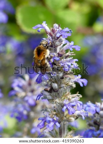 Bugle - Ajuga reptans Mass of flowers and bumblebee - stock photo