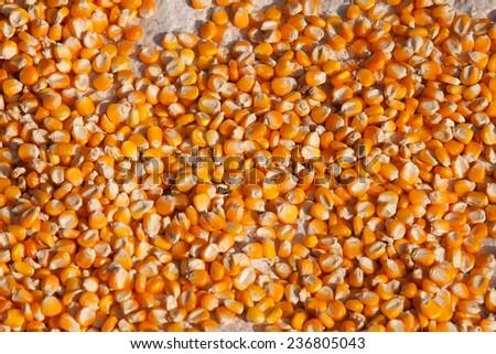 Bulk of corn grains. - stock photo