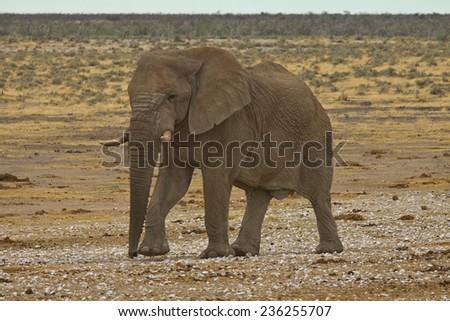 Bull African Elephant walking towards waterhole, Etosha National Park, Namibia - stock photo
