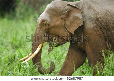Bull Asian Elephant in Wasgomuwa National Park, Sri Lanka - stock photo