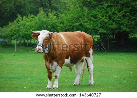 Bull at a pasture - stock photo