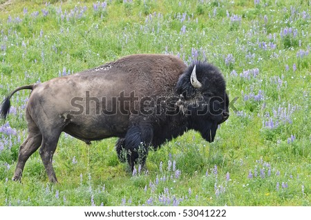 Bull Bison - stock photo