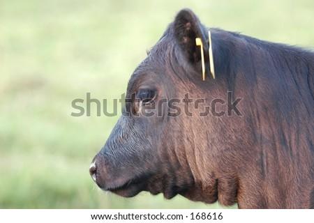 Bull Calf - stock photo
