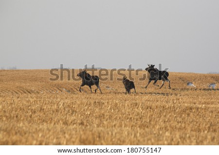 Bull cow and calf moose crossing stubble field - stock photo