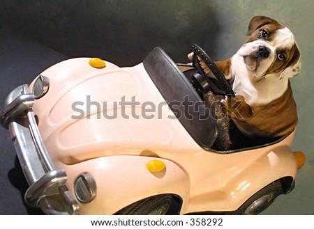 Bull dog in pink car - stock photo
