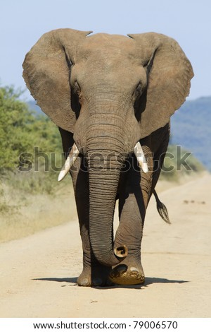 Bull elephant head on - stock photo