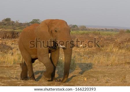 Bull elephant, Kruger National Park, South Africa - stock photo